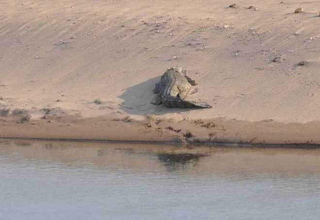 crocodile_0320a