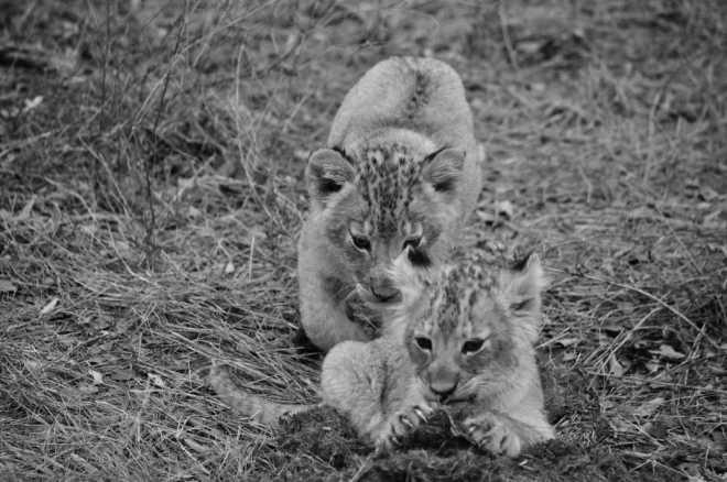 cubs_0712-bw