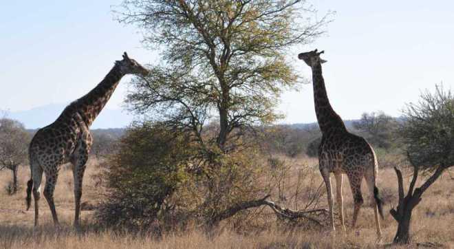 Giraffe_0217b