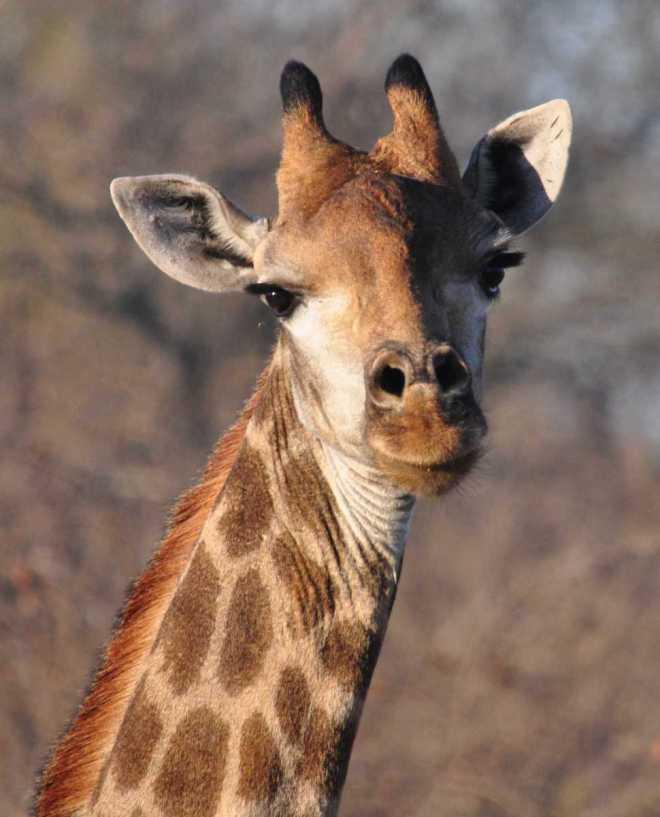 Giraffe_0265b