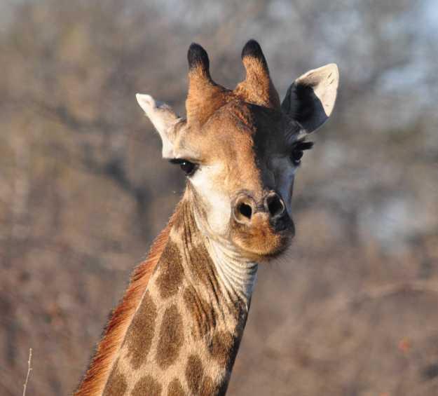 Giraffe_0295a