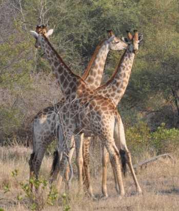 giraffe_0337b