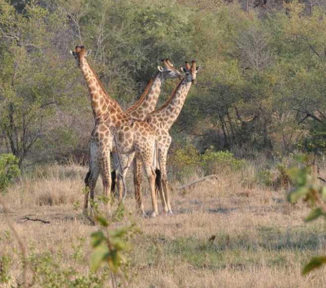 Giraffes_0351c