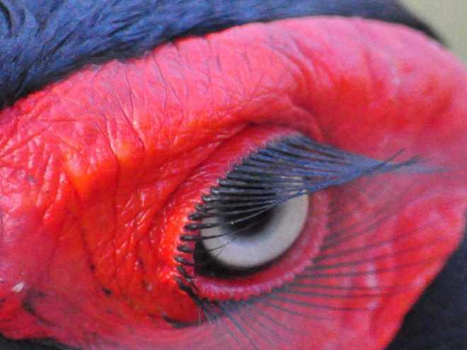 Ground-Hornbill_0340a