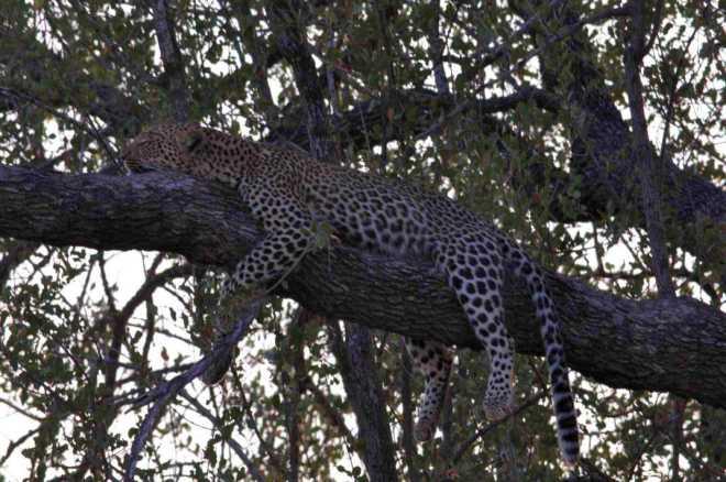 Leopard_0691b