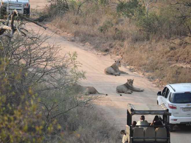 Lions_0890a