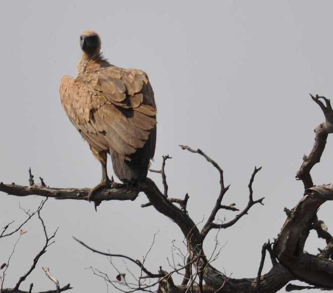 vulture_0078