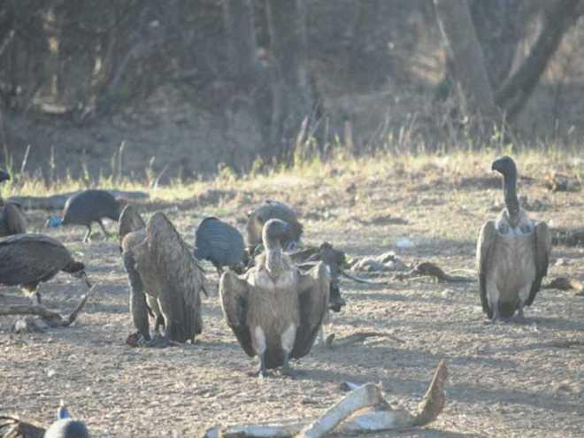 Vultures_0583b