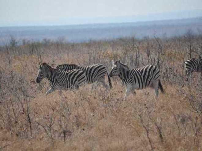 zebra_0140b