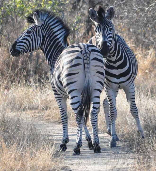 Zebra_0437b