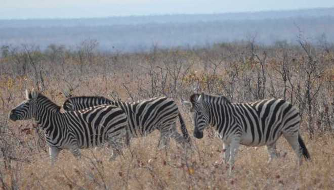 Zebras_0141a