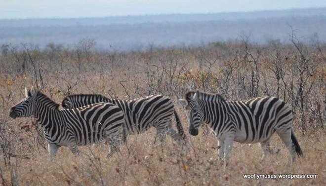 2 DSC_0141-Zebras