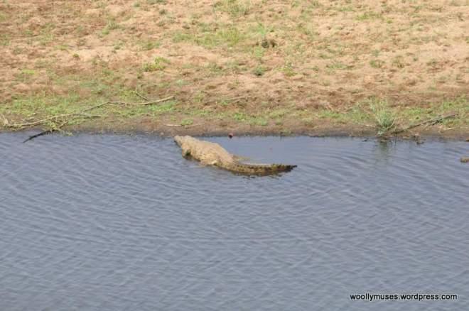 Crocodile_0377