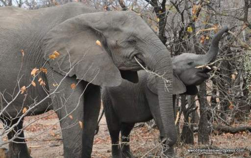 elephant_0146