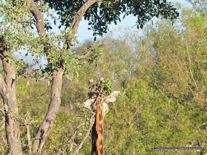 Giraffe_0032