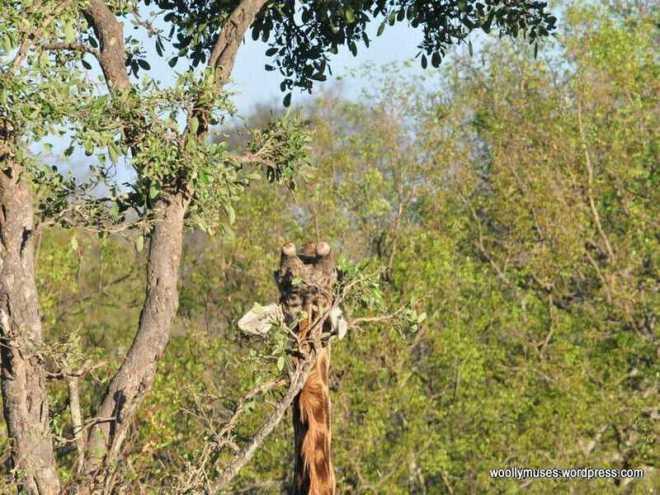 Giraffe_0034