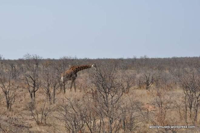 giraffe_0094