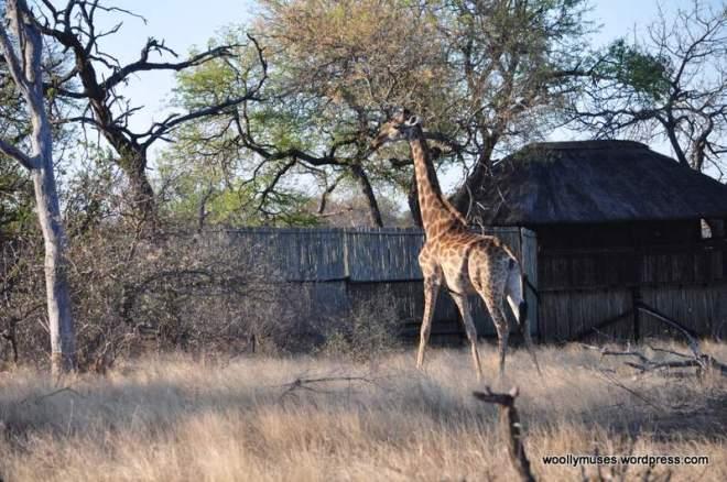 Giraffe_0288