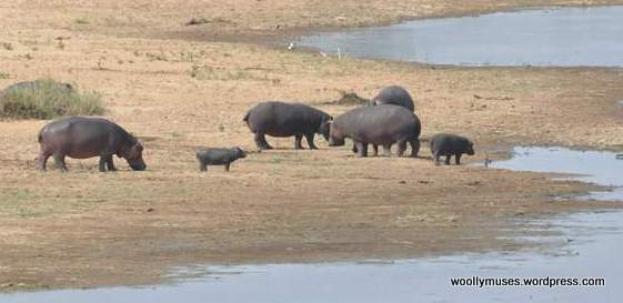 hippopotamus_0401