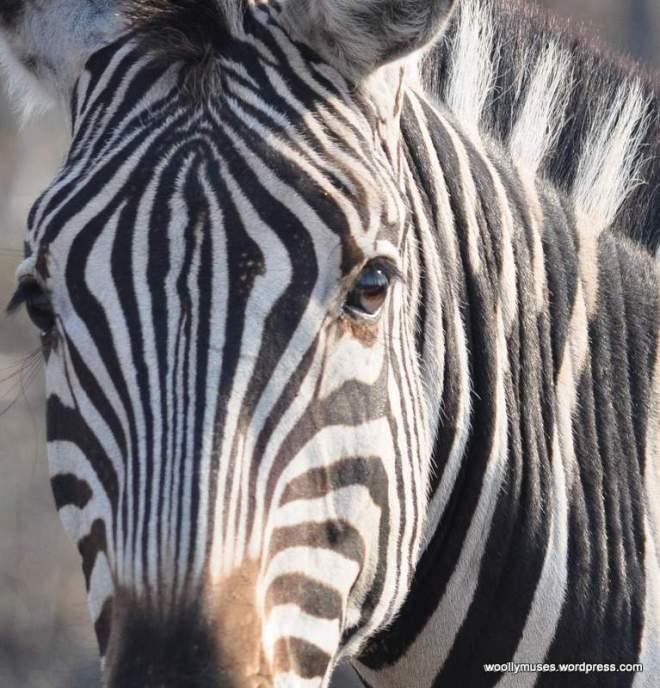 zebra_0037