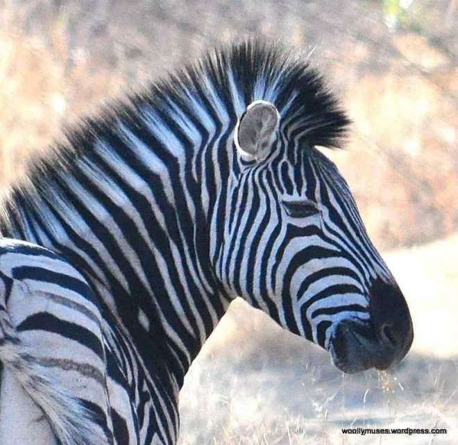 zebra_0431
