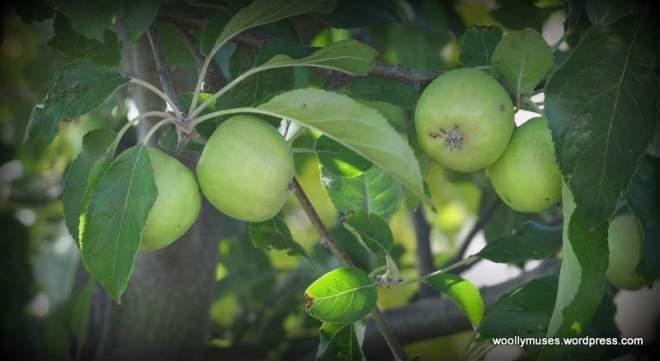 apples_0362