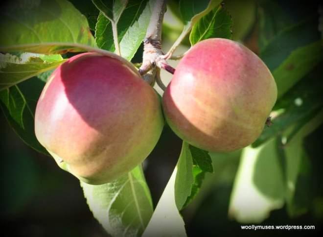 apples_0373