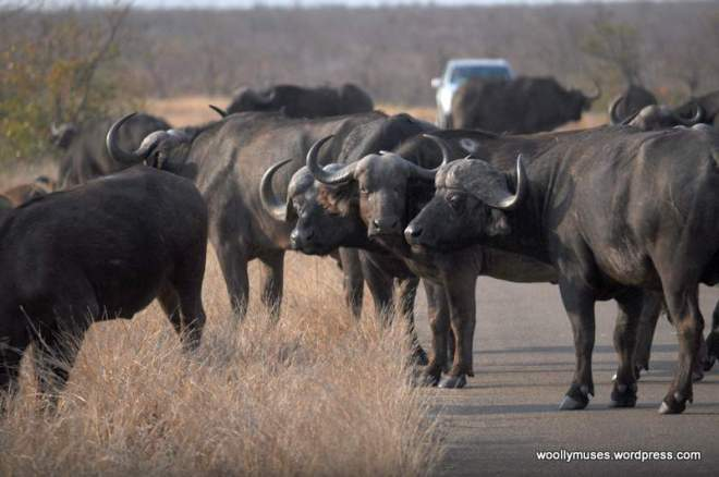 buffalo_0204