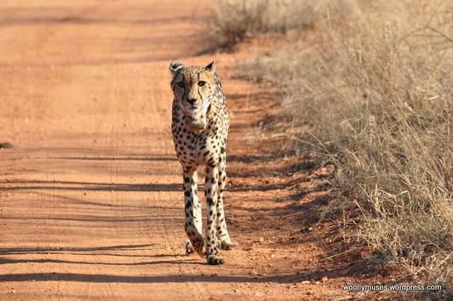cheetah_0026-2