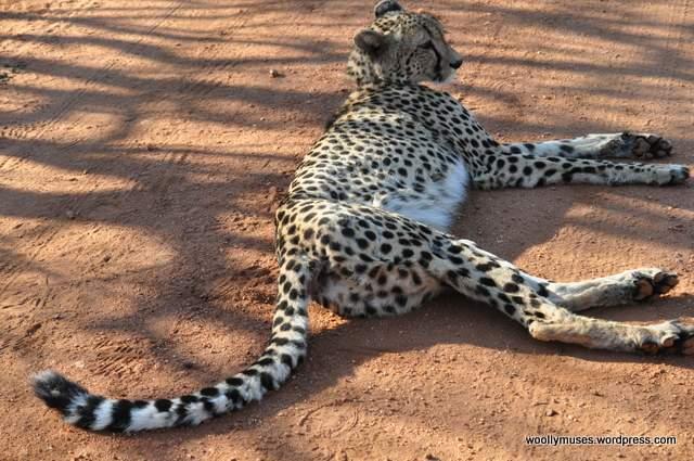 cheetah_0033-5