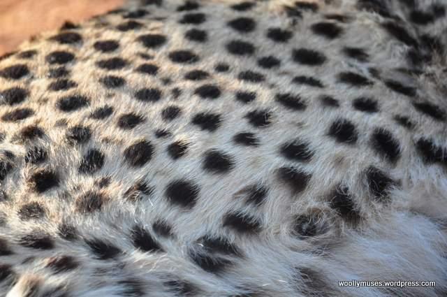 cheetah_0048-8