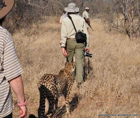 cheetah_0209-9