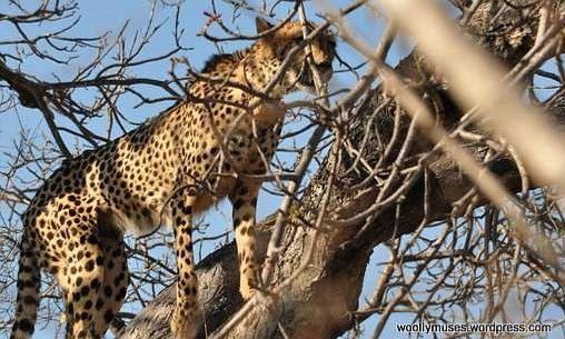 cheetah_0233-5