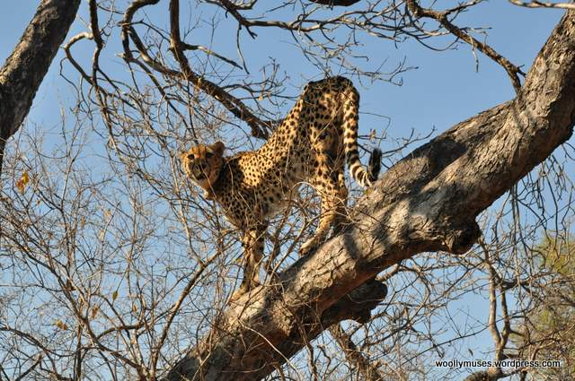cheetah_0251