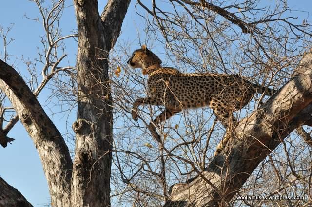 cheetah_0256