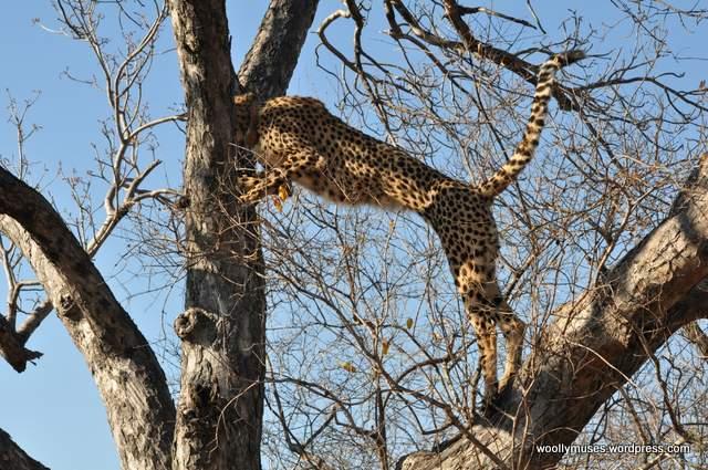 cheetah_0257