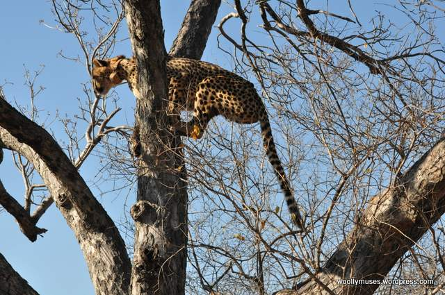 cheetah_0258