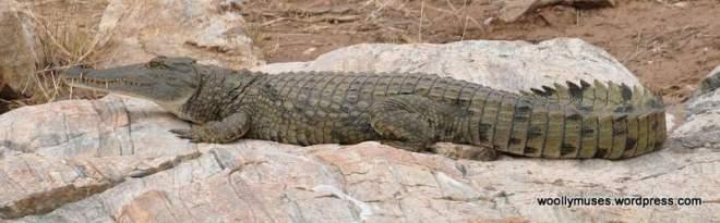 crocodile_0106