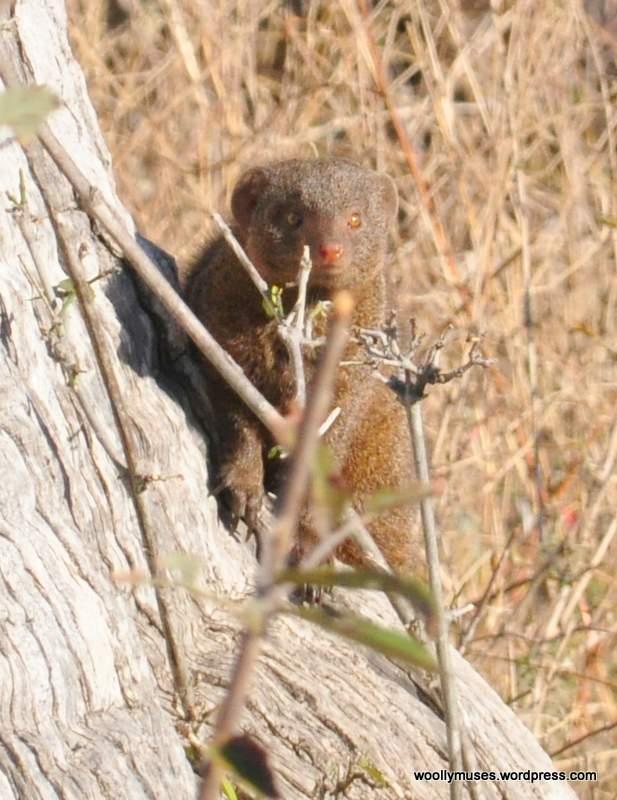 Dwarf-Mongoose_0031