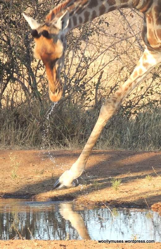 giraffe_N1080