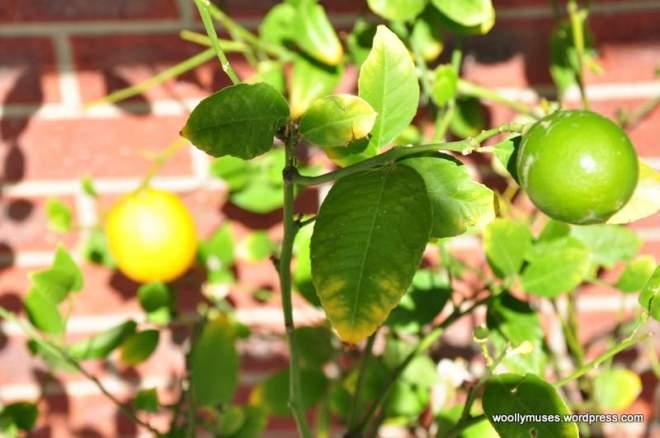 Lemon_0337
