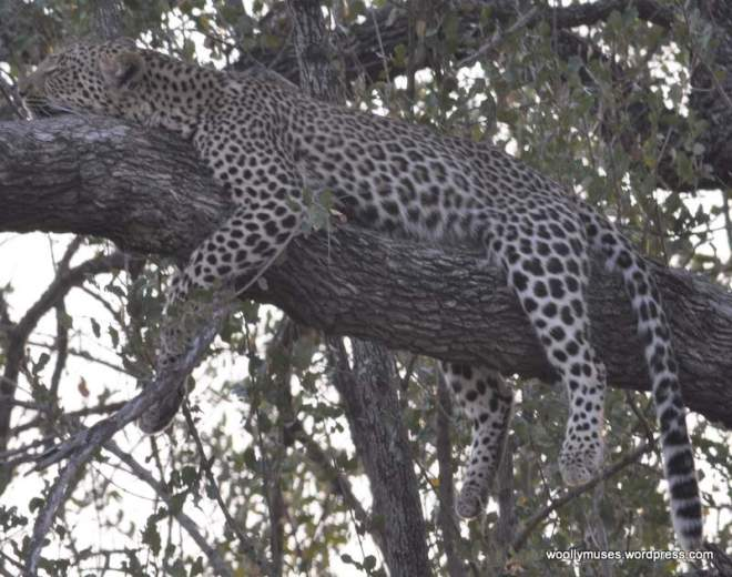 leopard_0691