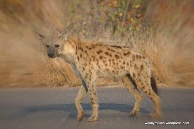 hyena_0104