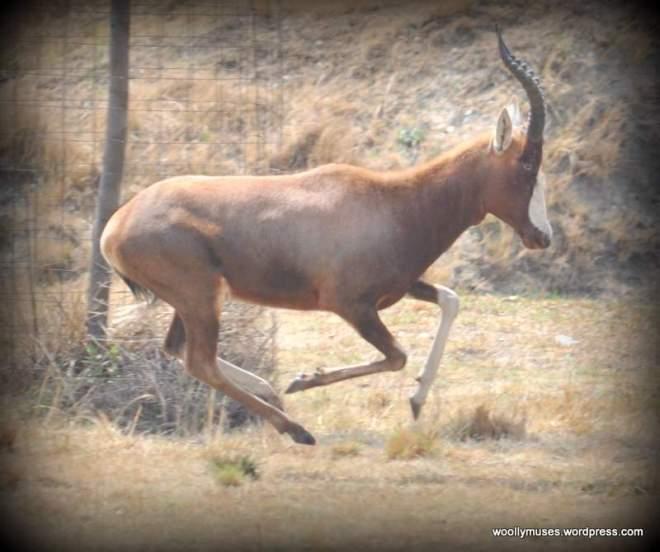 impala_0518
