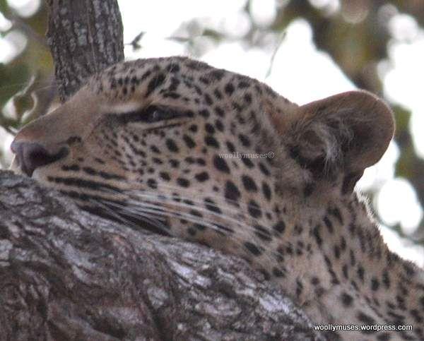 leopard_0722A