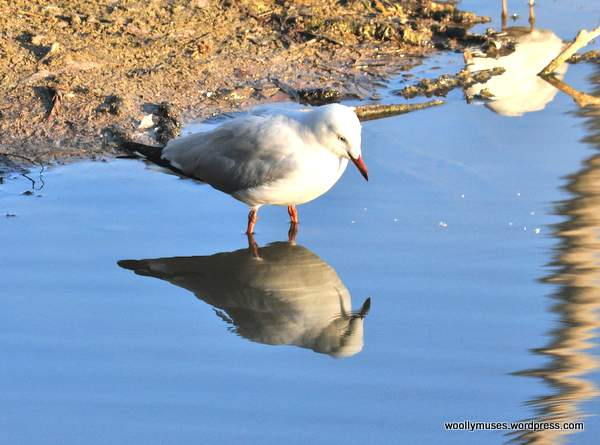 seagull_0998