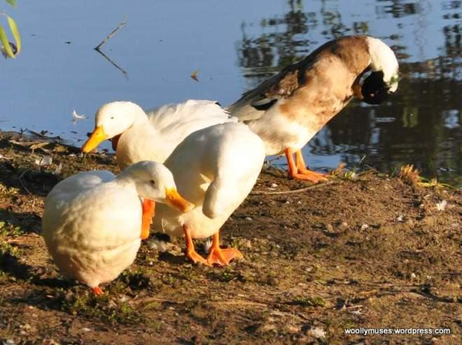 duck_0001