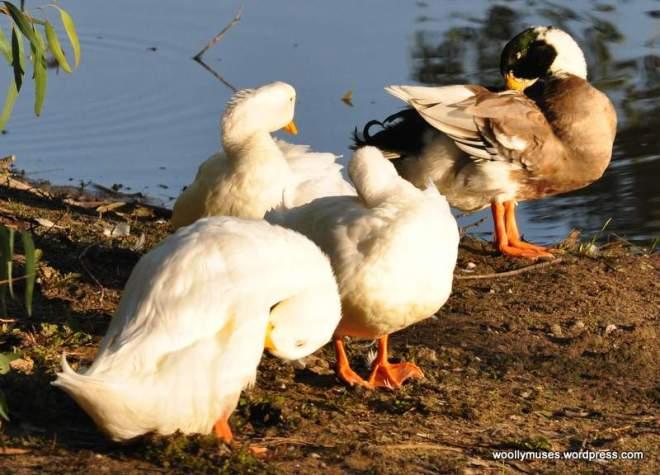 duck_0008