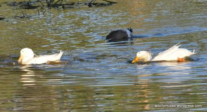 duck_0920