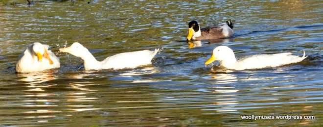 duck_0922